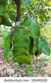 Ant nests on mango trees