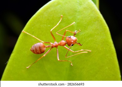 Ant on leaf,Red Ant