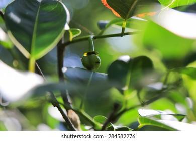 Ant on a Swamp Apple (Pond Apple)