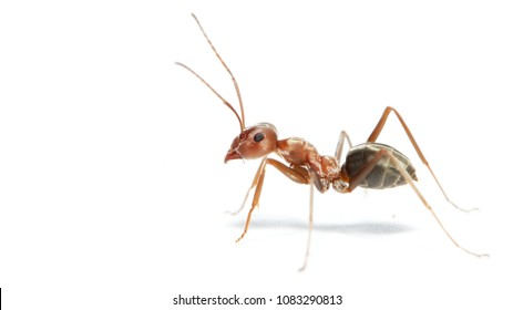 Ant on a white background!