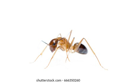 The ant on the white background