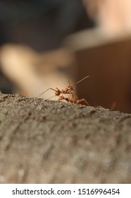 Ant on wood with background blur, Macro Ants,Small ant,