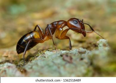 Ant orange (Linepithema humile)