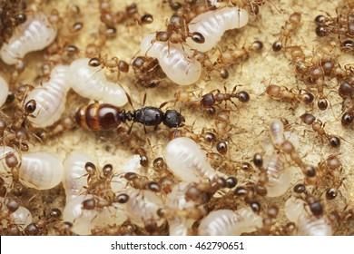 Ant queen inside the ant nest with workers and larvae of new generation of queens