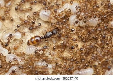 Ant Queen in nest, Czech Republic