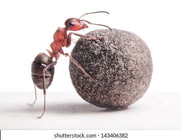 ant rolls heavy stone