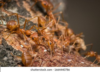 The ant team goes to find food. It is powerful teamwork. Macro or close-up photo.