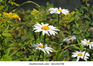 An ant walking on daisies