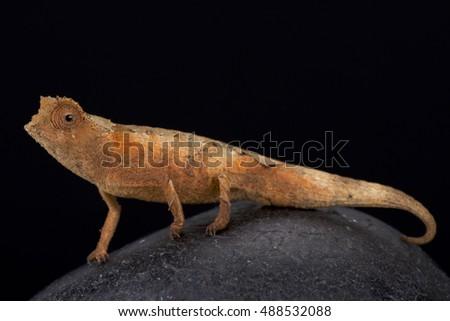 Antahkarana Pygmy Chameleon Brookesia Antahkarana Madagascar Stock