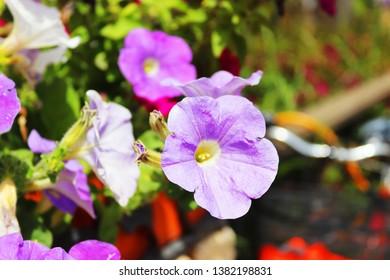 Antalya, Turkey - April 25, 2019: Mixed petunia flowers. Petunias in Floral Detail Background Image. Beautiful petunia flower wallpaper. Colorful blooming Petunia flowers (Petunia hybrida).