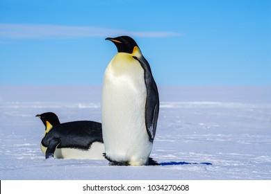 Antarctic animal penguin