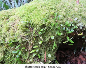 Antarctic Beech Tree root with fern and moss Border National Park New South Wales Australia