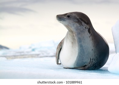 Antarctic Crabeater Seal