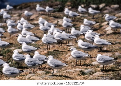 Antarctic Fulmar (Fulmarus glacialoides), Hout Bay, Western Cape, South Africa