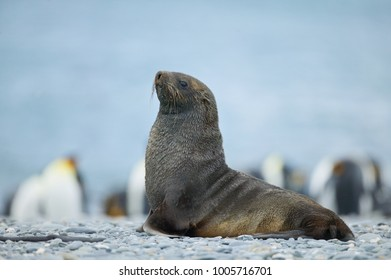 Antarctic Fur Seal (Arctocephalus gazella) mounts guard over a beach full of king penguins, South Georgia Island