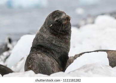 Antarctic fur seal Arctophoca gazella, an beach, Antartic peninsula