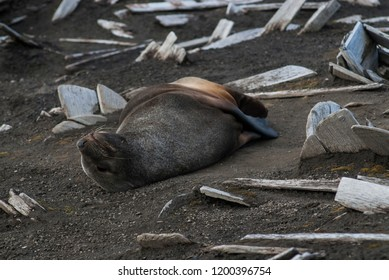 Antarctic fur seal, Deception Island ,Antartic peninsula.