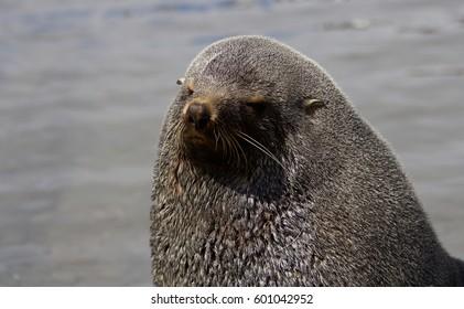 Antarctic Fur Seal in Fortuna Bay, South Georgia