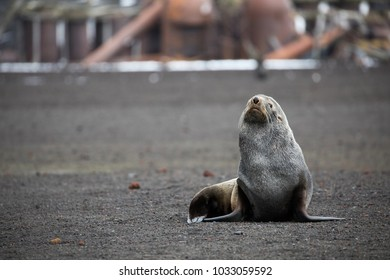 An Antarctic fur seal on Deception Island in Antarctica. This is an old abandoned station on the Antarctic peninsula