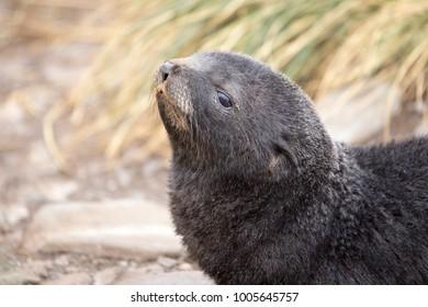 Antarctic Fur Seal pup in Cooper Bay, Antarctica