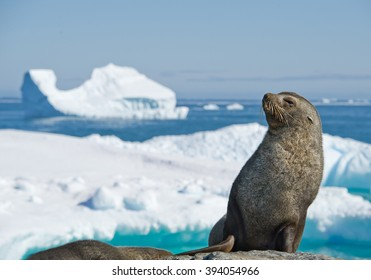 Antarctic fur seal resting on the stone, with blue sky and icebergs in background, Antarctic Peninsula