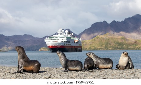 Antarctic Fur Seals, Stromness Bay South Georgia beach - Shutterstock ID 1959472951