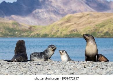 Antarctic Fur Seals, Stromness Bay South Georgia   - Shutterstock ID 1959472957