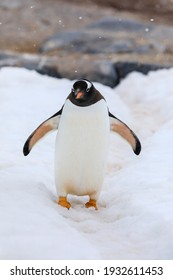 Antarctic gentoo penguin (Pygoscelis papua) with wings outstretched waddling in the snow with snowflakes in the air at Damoy Point on Wiencke Island off the Antarctic Peninsula of Antarctica