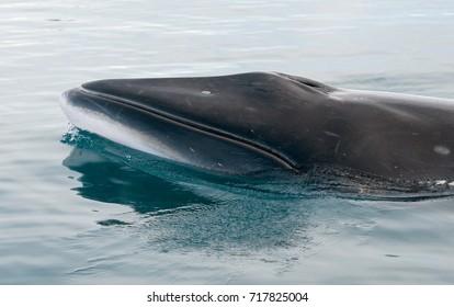 Antarctic Minke whale surfacing, Antarctic Peninsula