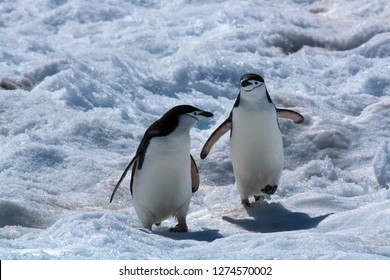 Antarctica chinstrap penguins walking on snow with red algae