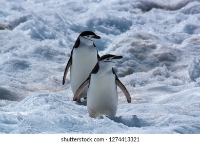 Antarctica closeup two chinstrap penguins walking on snow with red algae