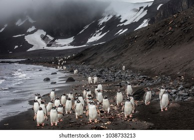 Antarctica: Colony penguins on Livingston island