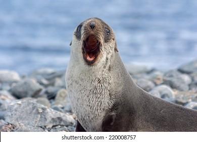 An Antarctica fur seal in Antarctica.