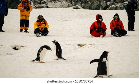 Antarctica / March 2015: Gentoo penguins meeting people in Antarctica on Cuverville Island.