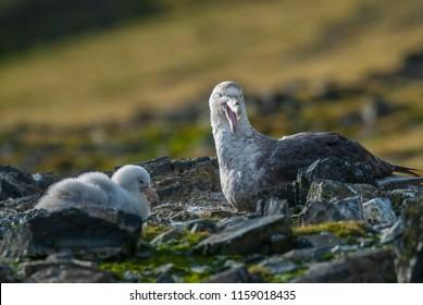 Antartic giant petrel, Hannah Point,Livingston island, South Shetland