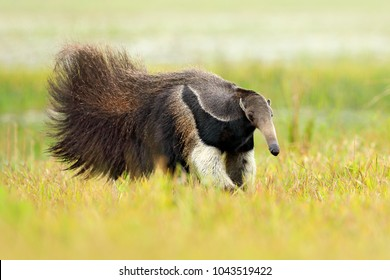 Anteater, cute animal from Brazil. Giant Anteater, Myrmecophaga tridactyla, animal with long tail and log muzzle nose, Pantanal, Brazil. Wildlife scene, running in pampas.