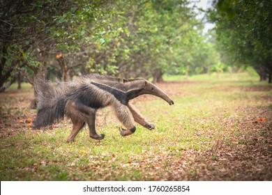 Anteater running across the green field. vermilinguos, tamandúa, anteaters, palmeros or yurumí bears.