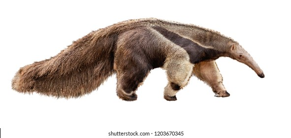 Anteater zoo animal walking facing side. Extracted photo isolated on white background.