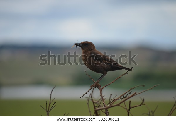 Ant-eating Chat eating a grasshopper while perched on twigs - South Africa
