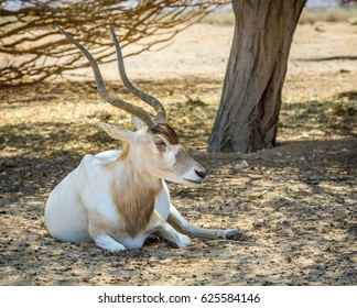Antelope addax (Addax nasomaculatus) known as the screw-horn antelope. Due to danger of extinction it was introduced from Sahara desert  and acclimatized in nature reserve near Eilat, Israel