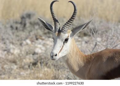 Antelope deer in Etosha
