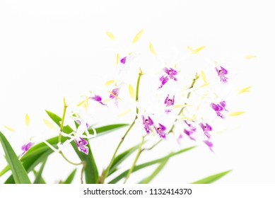 Antelope Dendrobium orchids on white background