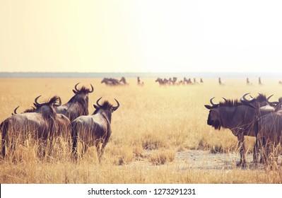Antelope Gnu in namibian bush
