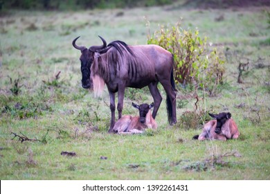 The antelope gnu with two little gnu babies