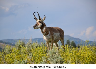 Antelope at Grand Tetons National Park