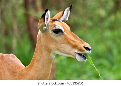 Antelope, impala eating grass