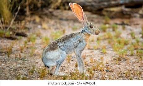 Antelope Jackrabbit - the Biggest of All North American Rabbits (Lepus Alleni) and Hares