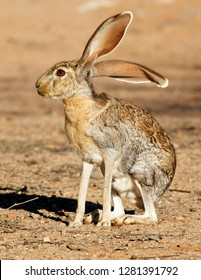 Antelope Jackrabbit (Lepus alleni). It is the largest of the North American hares, Arizona.