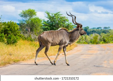 Antelope Kudu - African species of antelope from the subfamily of bulls. Kudu crosses the road in the park. South Africa. The Kruger Park. The concept of ecological and photo tourism