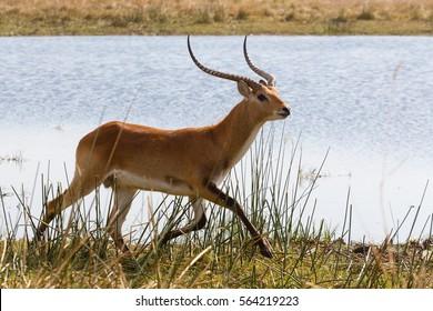 antelope lechwe (Kobus leche), or southern lechwe, Moremi game reserve, Okavango delta, Botswana, Africa safari wildlife and wilderness